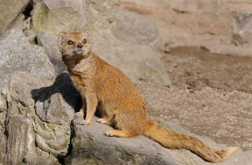 animal animals mongoose
