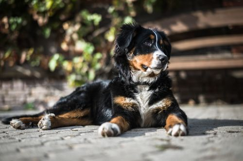 animal baby dog bernese mountain dog