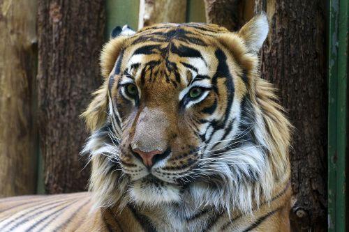 gyvūnas,gyvūnų fotografija,gyvūnų portretas,gražus,spalva,išsamiai,portretas,prague,tigras,tigro portretas,zoologijos sodas