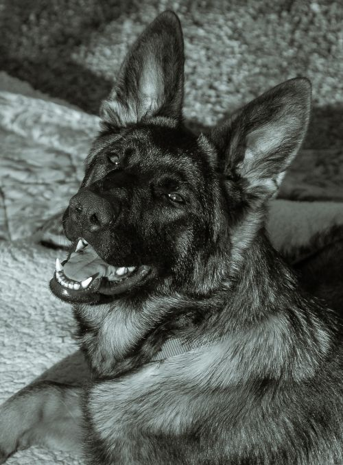 animal dog german shepherd