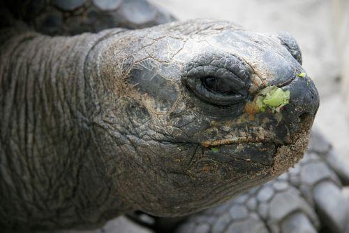 animal turtle panzer