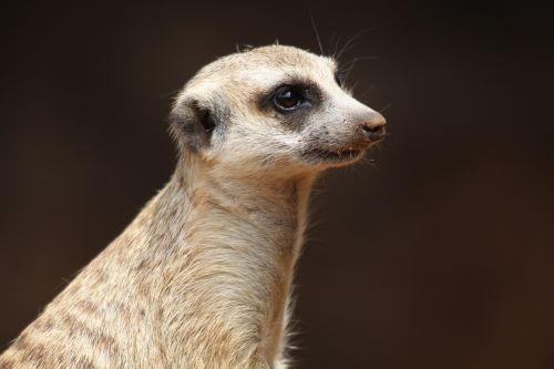 animal meerkat nature