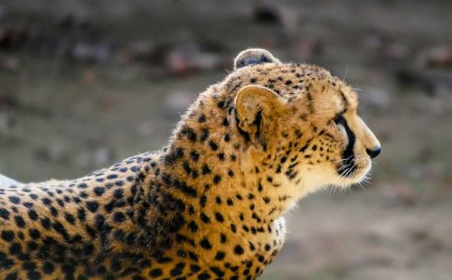 animal predator cheetah