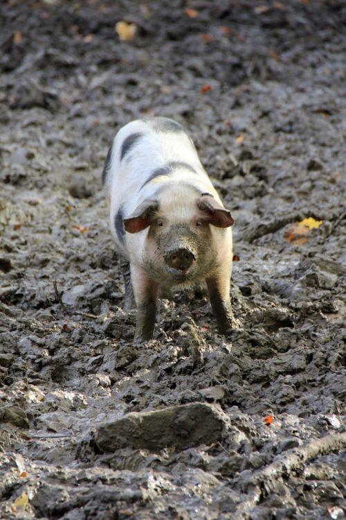 animal pig mess