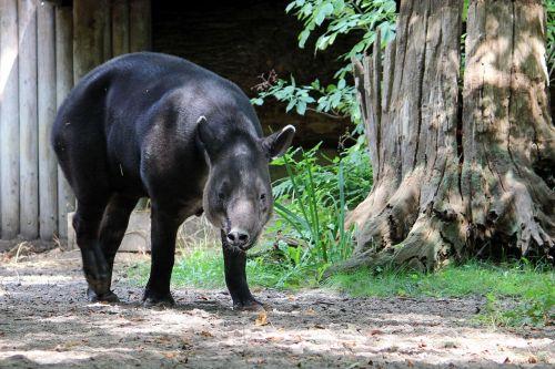animal mammal tapir