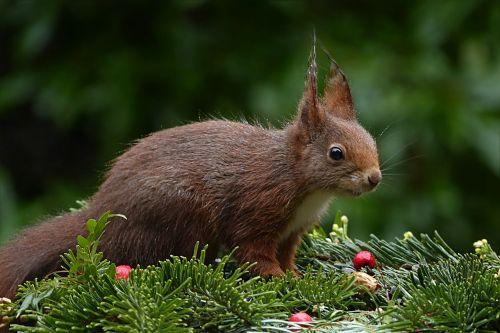 animal squirrel sciurus vulgaris major