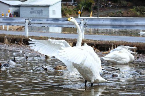 animal swan waterfowl