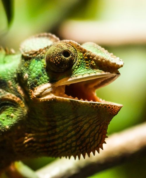 animal chameleon reptile