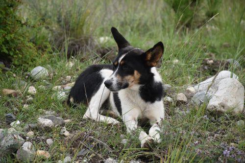 animal dog tibetan