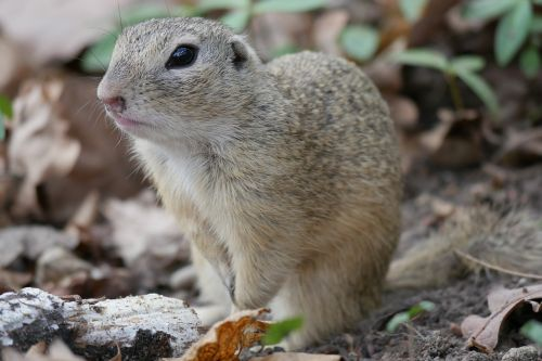 animal ground squirrel croissant