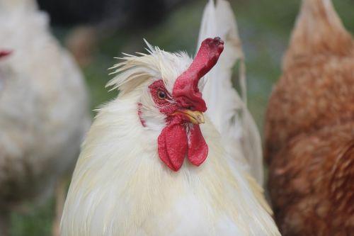 animal gallo hen