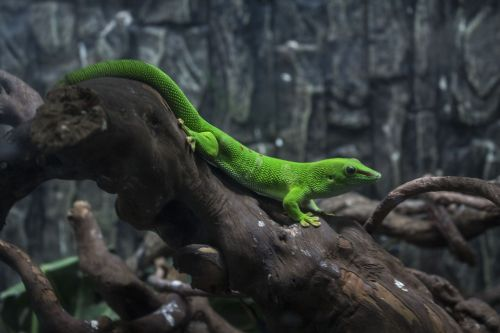 animal discoloration lizard