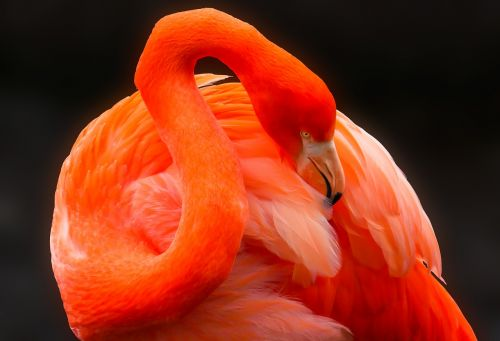animal bird flamingo