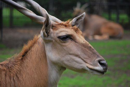 animal zoo horns