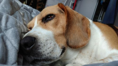 animal dog beagle