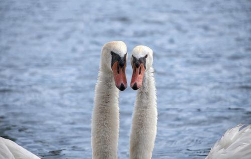 animal bird swan