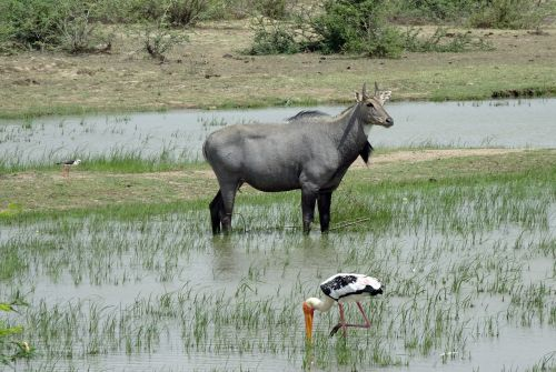 animal wild nilgai