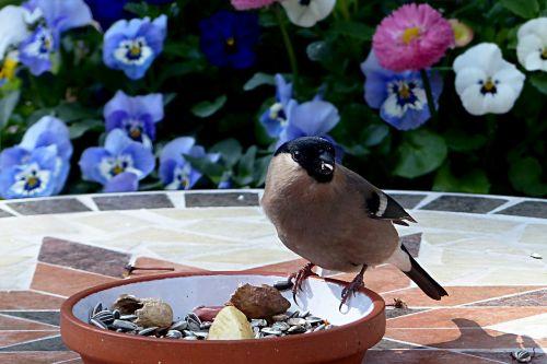 animal bird bullfinch