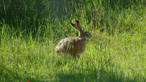 animal hare wild