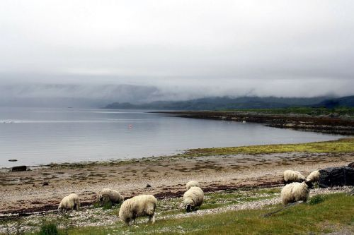 animal sheep nebelschleier