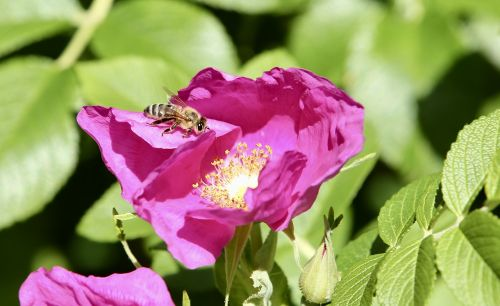 animal bee honey bee