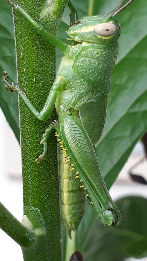 animal grasshopper leaf eater