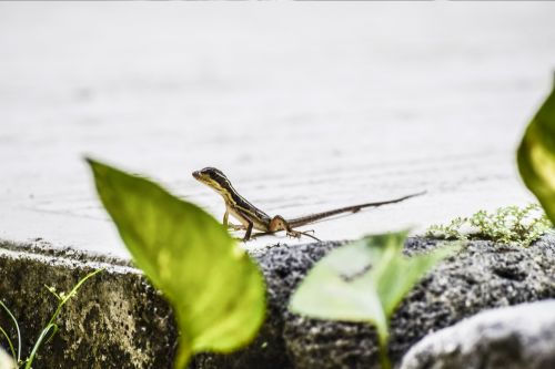 animal,lizard,reptile,small,gecko