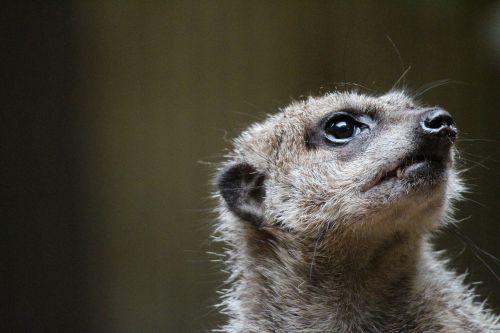 animal meerkat zoo