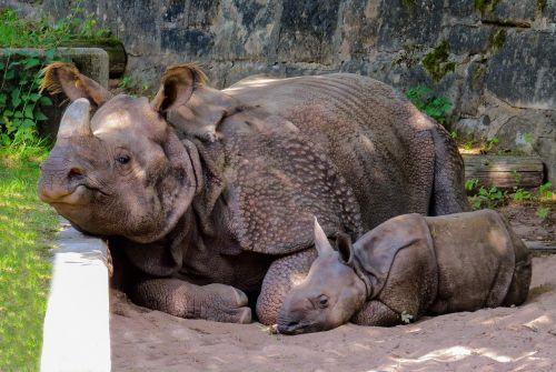 animal rhino pachyderm