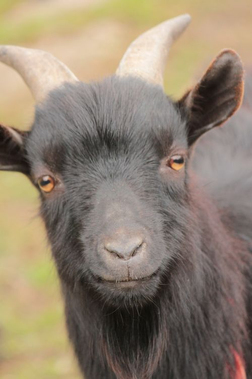 animal head goat