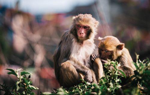animal monkey siblings