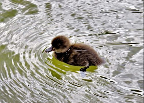 animal ducklings water bird