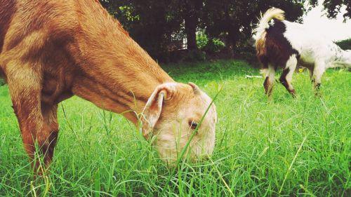 animal grass herbivore