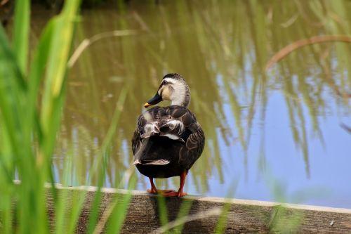 animal pond waterweed