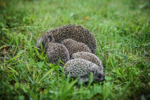 animal porcupine cute porcupine