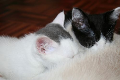 animal kitty suckling kittens