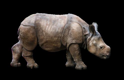 animal wild animal rhino