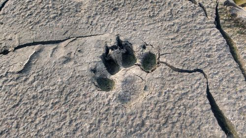 animal footprint dog footprint