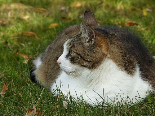 animal cat felis silvestris catus