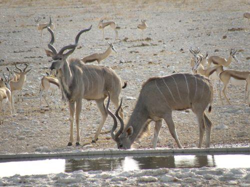 gyvūnas,laukiniai,Namibija