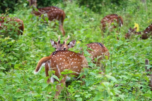 animal hiding deer