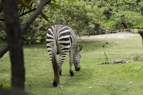 animal wild zebra