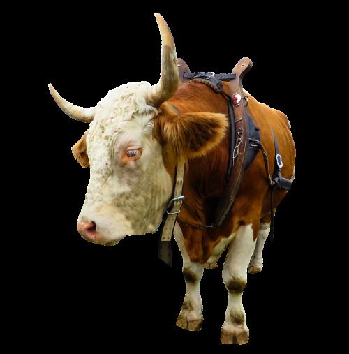 animal cow ox
