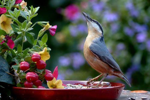 animal bird kleiber