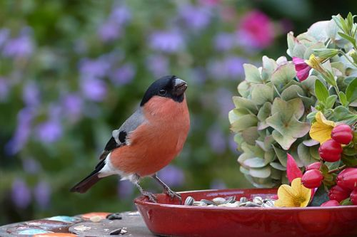 animal bird bullfinch