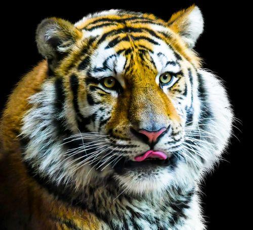 animal tiger cat