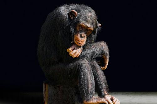 animal primate monkey