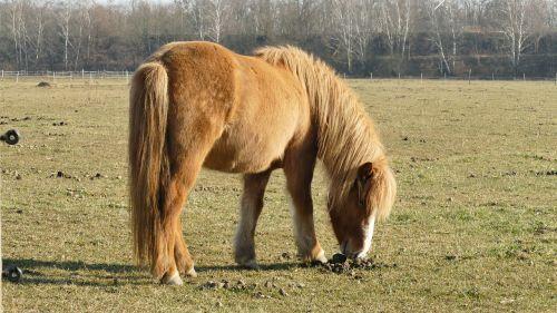 gyvūnas, Islandijos arklys, arklys, islandų salos, iceland pony, Mare, ganykla, paddock, gamta, be honoraro mokesčio
