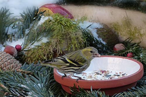 animal bird siskins