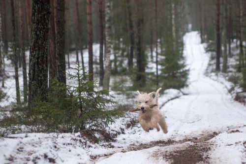 animal dog wheaten